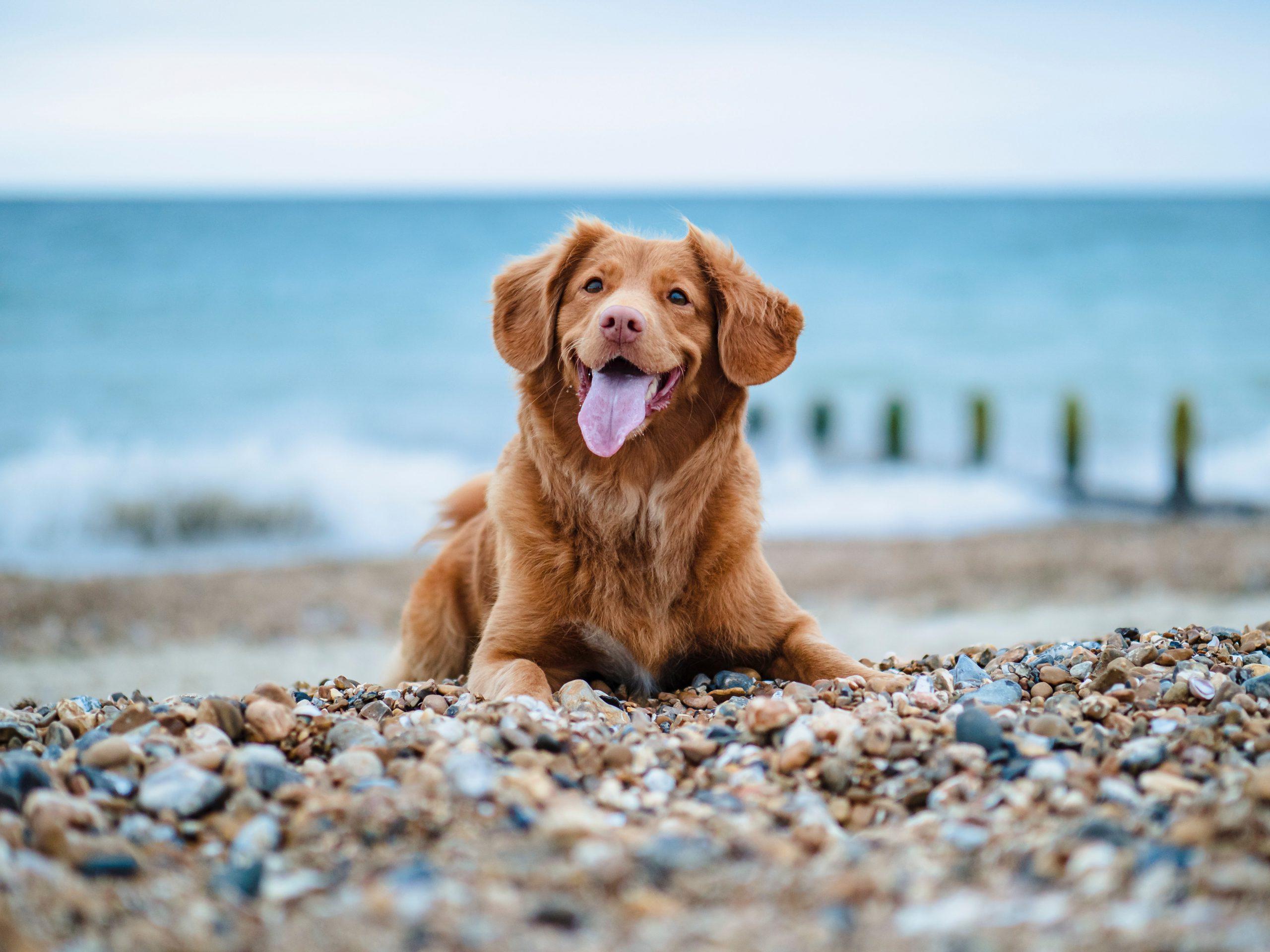 praias que permitem cães - cão na praia